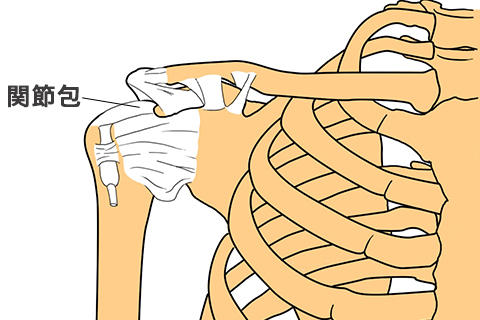 肩関節の断面図